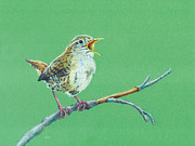 Wren Drawings - Wren by Tina McCurdy