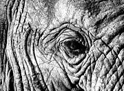 Black And White Art - Wrinkled Eye by Douglas Barnard