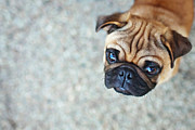 Puppy Metal Prints - Wrinkly Pug Puppy Metal Print by Melissa Lomax Speelman