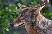 American Jackal Framed Prints - Wyle E Coyote Framed Print by Paul Marto