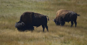 Dakotas Framed Prints - Wyoming Buffalo Framed Print by Donna Van Vlack