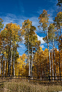 Split Rail Fence Framed Prints - Wyoming Golden Fall Aspens Framed Print by John Haldane