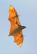 Bats Photos - X-ray Fruit Bat by Bruce J Robinson