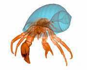 X-ray Of Hermit Crab Print by Ted Kinsman