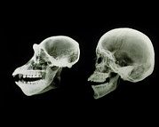 X-ray Image Art - X-ray Of Human And Chimpanzee Skulls by D. Roberts