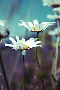 Daisies Flowers Prints - Xposed - s02 Print by Variance Collections