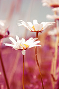 Daisies Flowers Prints - Xposed - s03 Print by Variance Collections