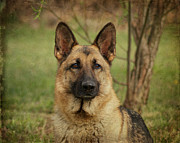 Shepherds Digital Art Posters - Yahtzee - German Shepherd Poster by Sandy Keeton