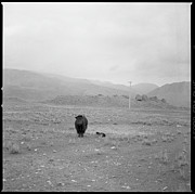 Yak Photos - Yak In Grassland by Oliver Rockwell