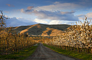 Apple Orchards Prints - Yakima Valley Spring Print by Mike  Dawson