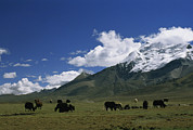 Tibet Prints - Yaks Graze In Meadows Under A High Print by Gordon Wiltsie