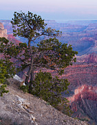 Grand Canyon Photo Originals - Yavapai Pine by Adam Pender