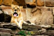 Ledge Prints - Yawn Print by Lana Trussell