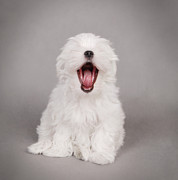 White Maltese Photos - Yawn by Waldek Dabrowski