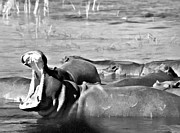 Hippopotamus Photo Posters - Yawning Black and White Poster by Douglas Barnard