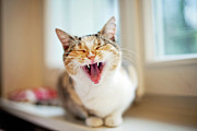 Window Sill Photo Posters - Yawning Cat Poster by Les Hirondelles Photography