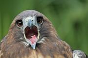 Yawning Hawk Print by Alexander Spahn