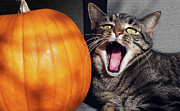 All Hallows Eve Prints - Yawning Vineyard Cat Print by Susan Isakson