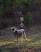 West Fork Photos - Yearling on the Run by Douglas Barnett