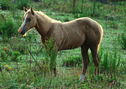 Yearling Palomino Chewing On A Stick - C0482c Print by Paul Lyndon Phillips