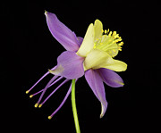 Commercial Space Art Framed Prints - Yelllow Purple Columbine Flower Framed Print by James Bo Insogna