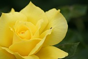 Scott Brown - Yello Rose