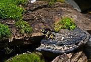 Nashville Tennessee Art - Yellow and Black Dart Frog by Douglas Barnett