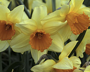 Trumpet Photo Originals - Yellow and Orange Trumpet Daffodil by Scott S Emberley