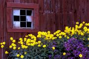 Yellow Barn Acrylic Prints - Yellow And Purple Flowers Acrylic Print by David Chapman