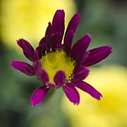 Kasia Dixon - Yellow and Purple