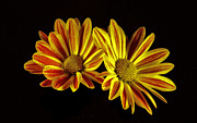 Flower Works Photos - Yellow and Red Daisies. by Chris  Kusik