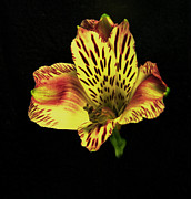 Flower Works Photos - Yellow and Red Peruvian Lily. by Chris  Kusik