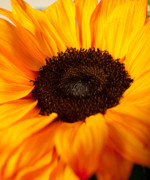 Yellow And Orange Sunflower Prints - Yellow and Red Sunflower Print by Lillian Michi Adams