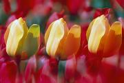 Woodburn Posters - Yellow And Red Tulip Blooms Poster by Natural Selection Craig Tuttle