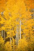 Steamboat Springs Western Framed Prints - Yellow Aspens Framed Print by Ron Dahlquist - Printscapes