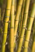 Thin Posters - Yellow Bamboo Stalks Poster by Ron Dahlquist - Printscapes