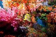 Vertebrate Posters - Yellow Banded Sweetlip Fish And Coral Poster by Beverly Factor