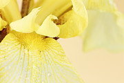 Bearded Irises Photos - Yellow Bearded Iris by Stephanie Frey