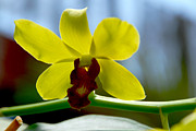 Yellow Beauty Print by Pravine Chester