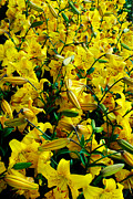 Blooms Photos - Yellow Bed of Flowers by Pravine Chester