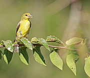 Yellow-bellied Flycatcher Print by David Cutts