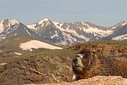 Max Allen - Yellow-bellied Marmot In...