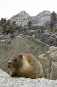 Humorous Photographs Prints - Yellow-bellied Marmot Marmota Print by Rich Reid