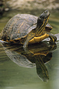 Slider Framed Prints - Yellow-bellied Slider Trachemys Scripta Framed Print by Gerry Ellis