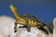 Yellow Slider Posters - Yellow-bellied Slider Trachemys Scripta Poster by Tim Fitzharris