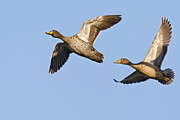 Duck Couple Posters - Yellow-billed Duck Anas Undulata Pair Poster by Vincent Grafhorst