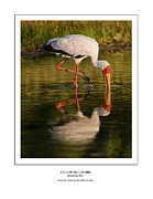 Stork Digital Art Posters - yellow-billed Ibis feeding Poster by Owen Bell