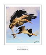 Stork Digital Art Posters - Yellow-billed Ibis in flight Poster by Owen Bell