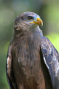 Black-billed Framed Prints - Yellow-Billed Kite Framed Print by Pat Exum