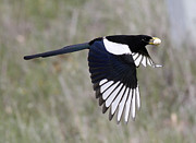 Pica Posters - Yellow-billed Magpie Poster by Jack Sutton
